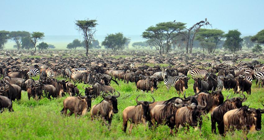 zbor ieftin, kenya, marea migratie, serengeti, bilet avion, travelator.ro, diy
